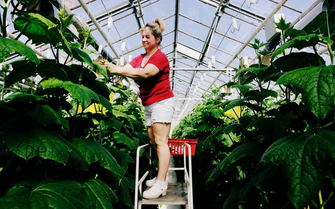 As part of her everyday work duties, Tatjana Maftulyak drops climbing cucumber plants down along their support strings so they have more room to continue growing and producing cucumbers. 5 April 2019.