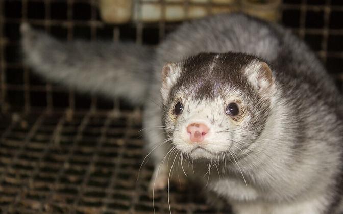В Эстонии запретят разведение и содержание зверей, если единственной целью является получение меха.