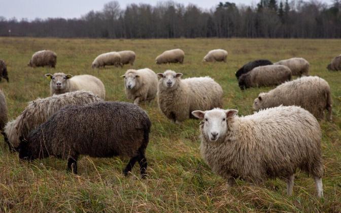 Lambapidajatele sobib maa, kus hekseldatud euroheina üles ei korjata.