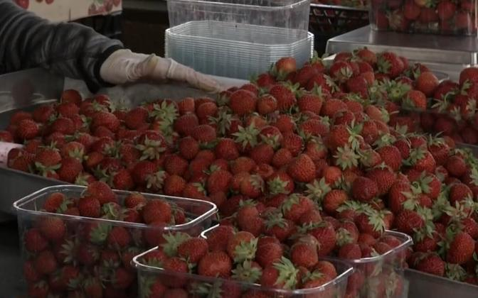 From prices, to quality to origin, strawberry season has had its fair share of coverage in the Estonian media lately.