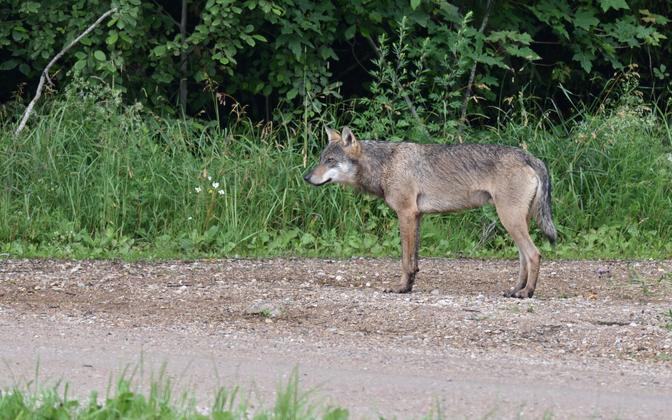 Wolf, spotted in Tartu County. There reportedly are a number of lone wolves on the island of Hiiumaa.