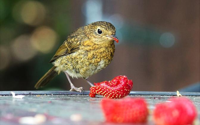 Maasikad kuuluvad mitmete lindude menüüsse.
