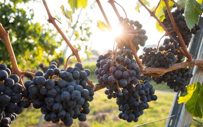 Viinamarjade valmimisaeg on oluliselt muutunud.