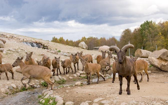 Dagestani tuuride kari Tallinna loomaaias