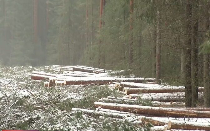 Felled trees in Kurgja in Pärnu County, one of the scenes of dispute between local residents and forestry commission the RMK.