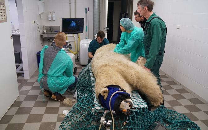 Friida the polar bear's health check.