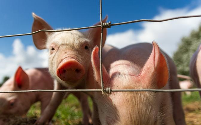 Piglets. Photo is illustrative.
