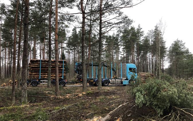 Tree-felling in progress in Pärnu County.