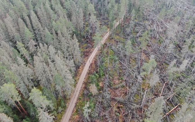 Koristamata tormimurrust alguse saanud üraskikahjustuse levik Karula rahvuspargis.