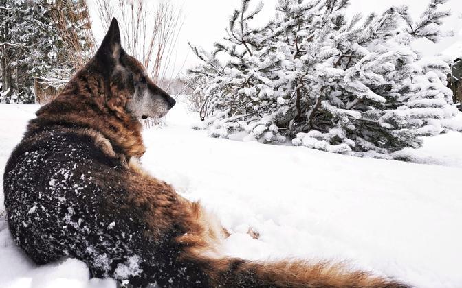 Linnakeskkonnas elavad koerad paistsid olema pelglikumad, kui nende maal elavad suguvennad.