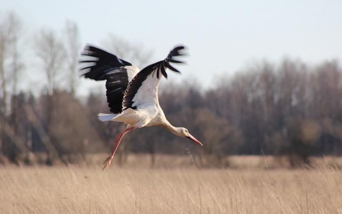 A white stork.