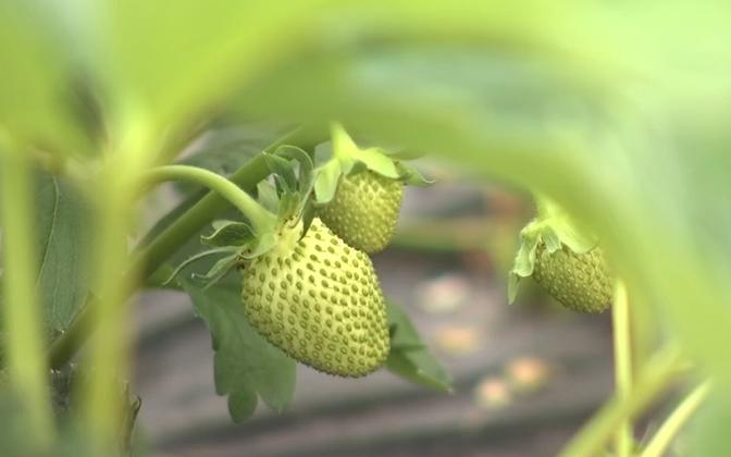 Strawberries growing in Tartu County.
