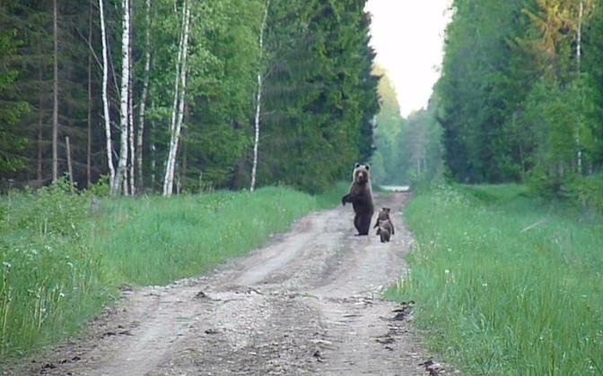 Bear family sighted in Rapla County. Photo is illustrative.