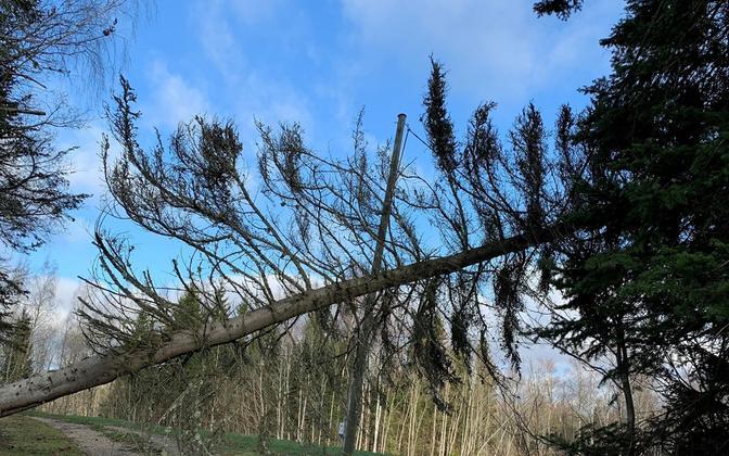 Elektriliinile langenud puu