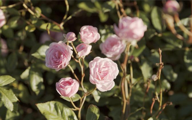 Дни роз в Ботаническом саду.