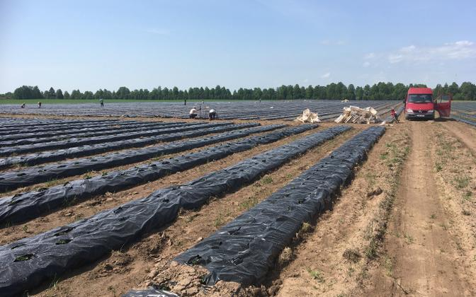 A strawberry farm in Estonia (picture is illustrative).