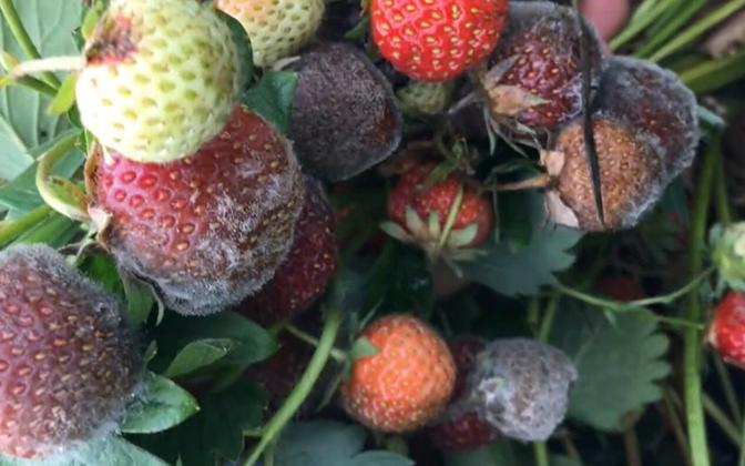 Strawberries covered in mold