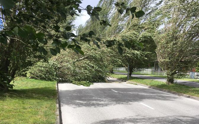 Fallen tree in Pärnu.