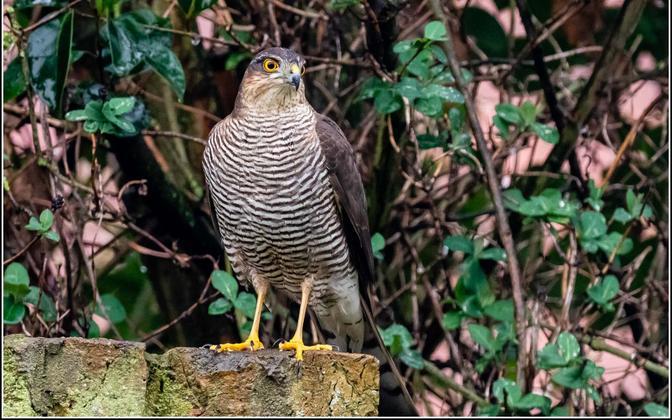 Võra alumine ja välimine osa on aga vähem turvalisem, sest seal on linnud kergem saak röövlinnule, näiteks raudkullile.