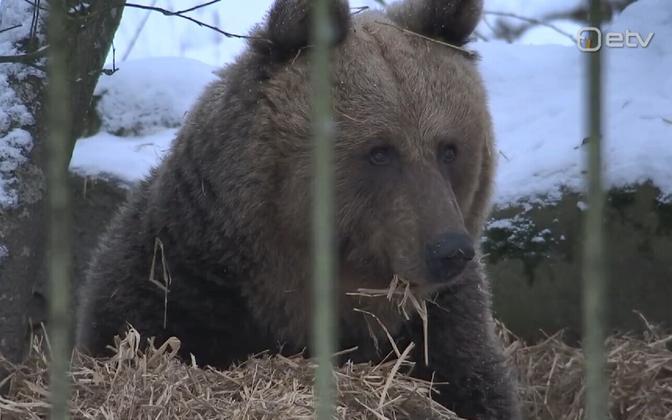 Elistvere wildlife park resident bear Karoliina.