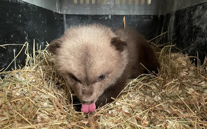 The small bear cub found on a roadside in Rapla County.