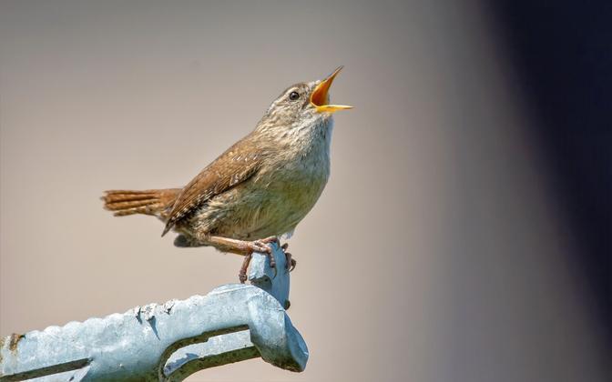 Käblikut võib kuulda laulmas nii metsas kui linnas.