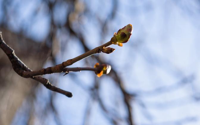 Spring buds emerging.