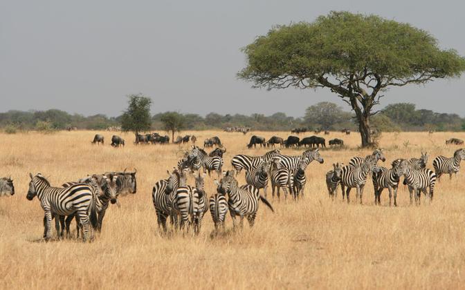 Serengeti rahvuspark Põhja-Tansaanias on üks vähestest kohtadest, kus pole sadade aastate jooksul välja surnud ühtegi loomariiki.