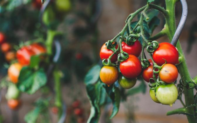 Eestlastel on võimalik valida enam kui tuhande tomatisordi vahel ehk tungivat vajadust täiendavate sortide sissetoomiseks pole.