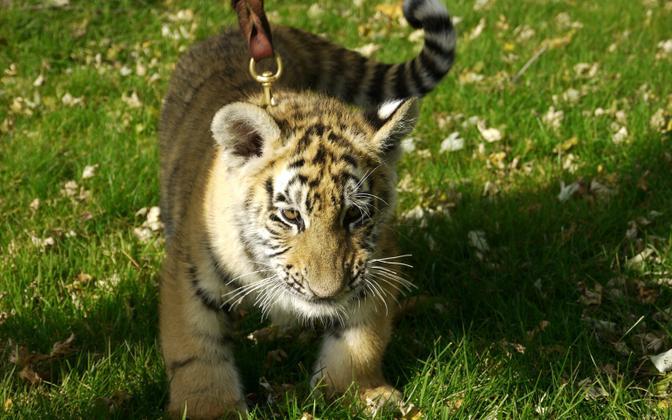 Klippides tuli ette ketti pandud tiigreid, kes mängisid inimestega mõnes äärelinna aias.