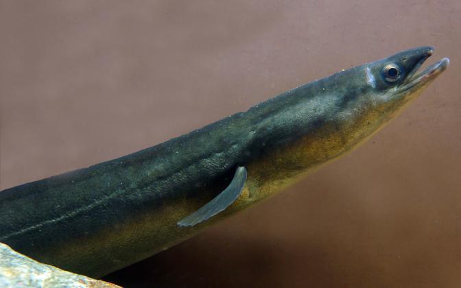 Tuli välja, et angerjasaaki mõjutas kliimamuutus kaudselt veetemperatuuri ja sinivetikate kaudu.