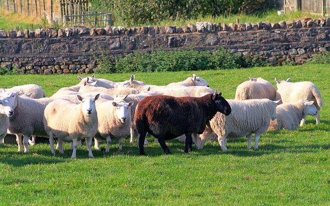 Näiteks väljend black sheep ('must lammas') koosneb sõnadest, mis õpitakse tõenäoliselt juba varakult.