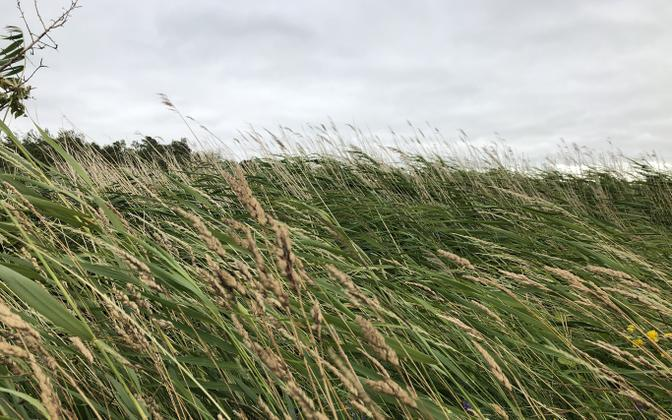 Reeds being blown in a strong winds on July 11.