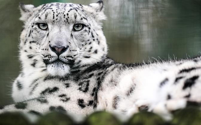 Uus Venemaa seadus võimaldab küttida ka lumeleoparde