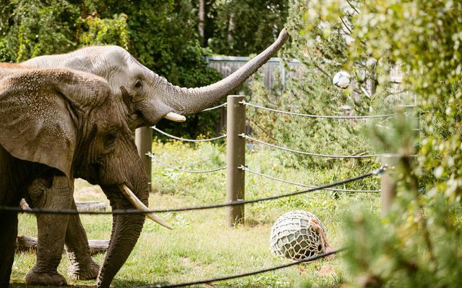 Слоны Таллиннского зоопарка вышли поиграть.