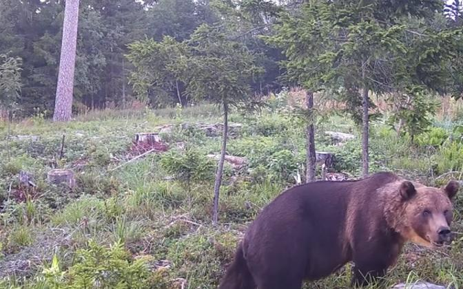 A Eurasian brown bear in a state-owned Estonian forest.