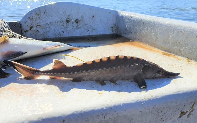 Попавший в рыбацкую сеть отмеченный осетр перед возвращением в воду.