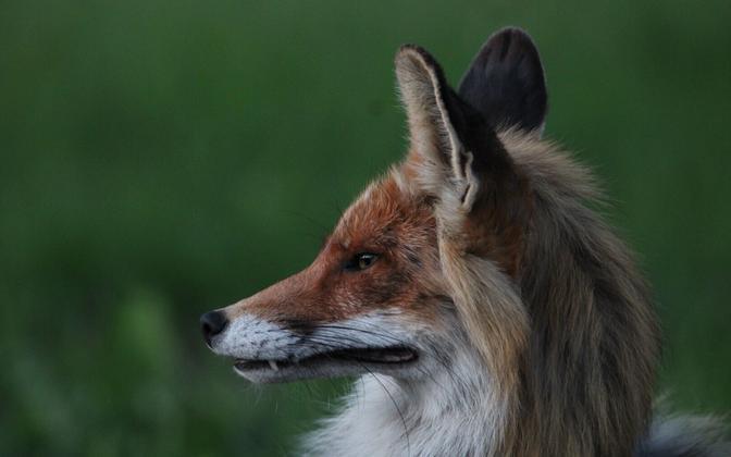 Домашние животные могут подхватить вирус от зверей.