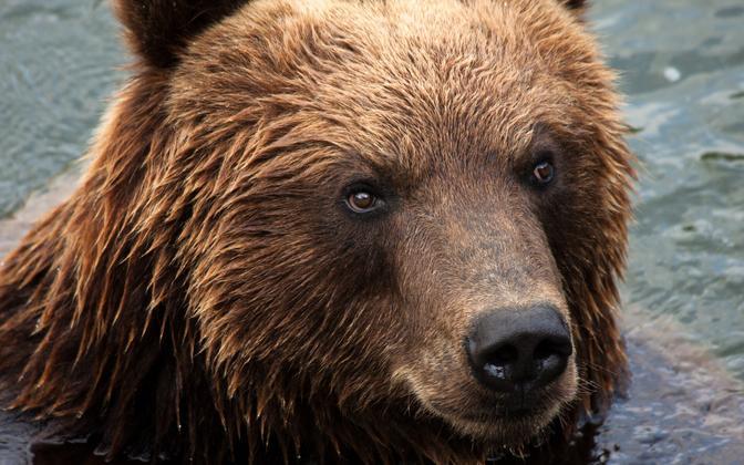 Медведь. Иллюстративная фотография.