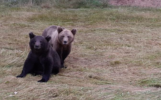 Bears in Latvia.