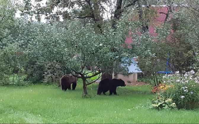 The bears in Northern Latvia.