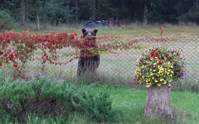 Медведь в регионе Видземе в Латвии.