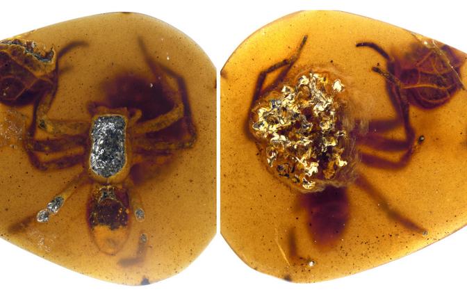 Oma munakookonit kaitsev ämblikuema jäi vaigu sisse kinni ammu enne dinosauruste hiilgeaega.