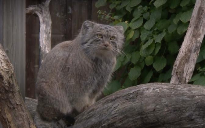 Tallinn Zoo's Pallas's cat.