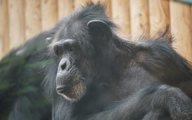 Шимпанзе Квинси.